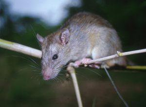 موش راتوس