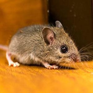 سم موش